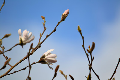 photo of buds on a tree by Nancy Zavada