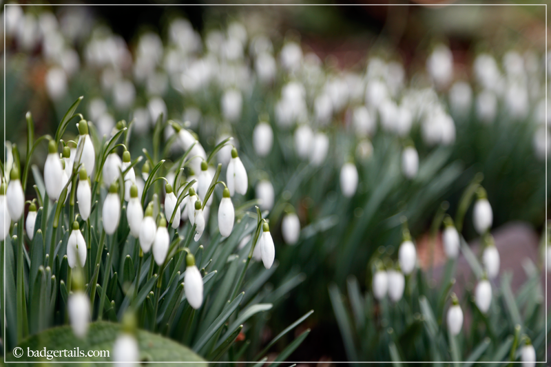 Blanket of Snowdrops