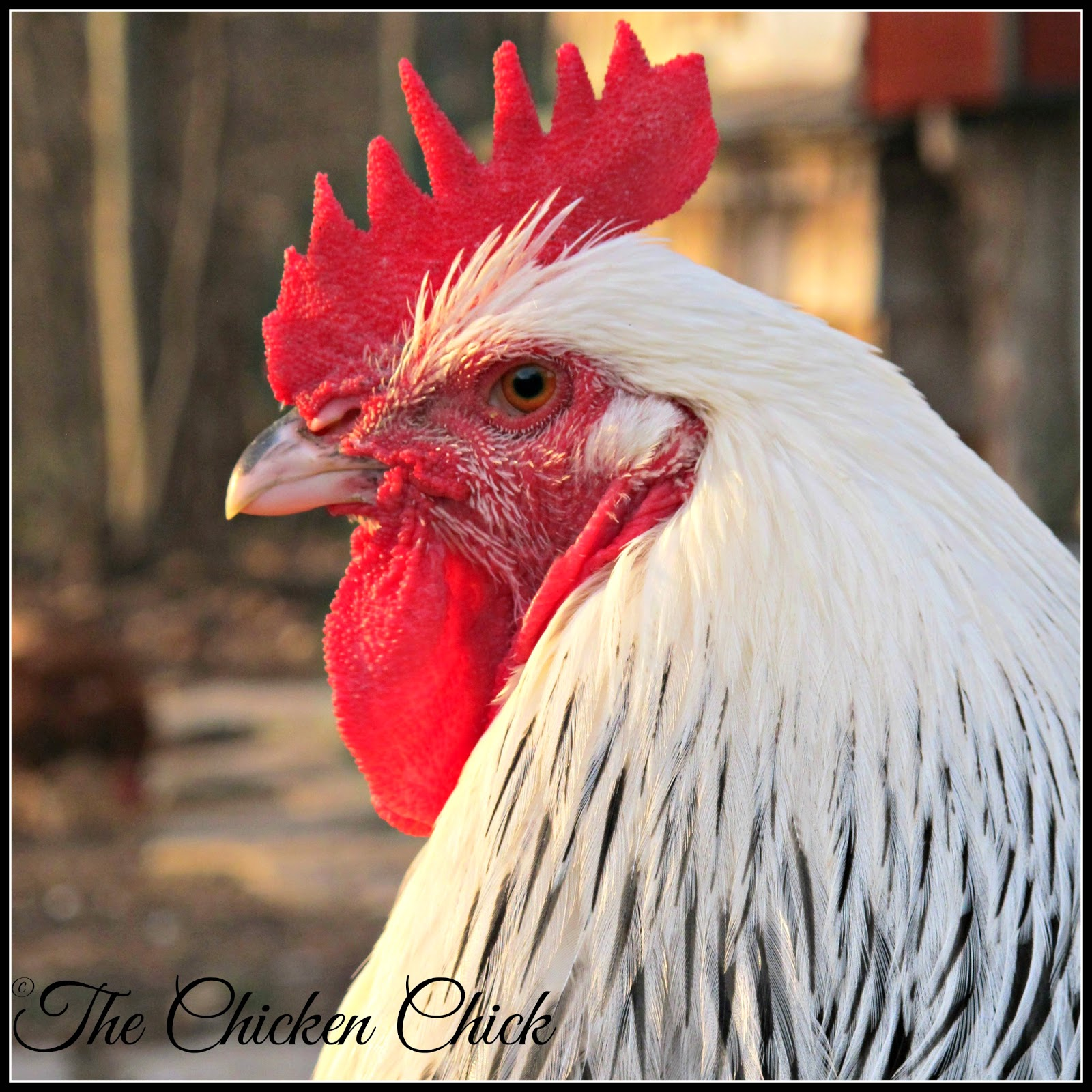 I thought I'd use this week's Flock Focus Friday to celebrate my beautiful boys at Blazing Trails Farm! I've got a major beef with the negative perceptions perpetrated by many rooster detractors. Until I began keeping chickens myself, I didn't realize that roosters are no noisier than barking dogs and while it's true that a rooster may crow at daybreak or in the middle of the night if disturbed, those noises are easily eliminated by either sound and light-proofing the coop or by bringing the rooster into another interior space (garage, basement).