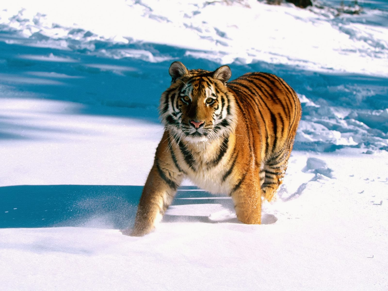 majestic grace siberian tiger wallpapers - Majestic Grace Siberian Tiger Wallpapers HD Wallpapers