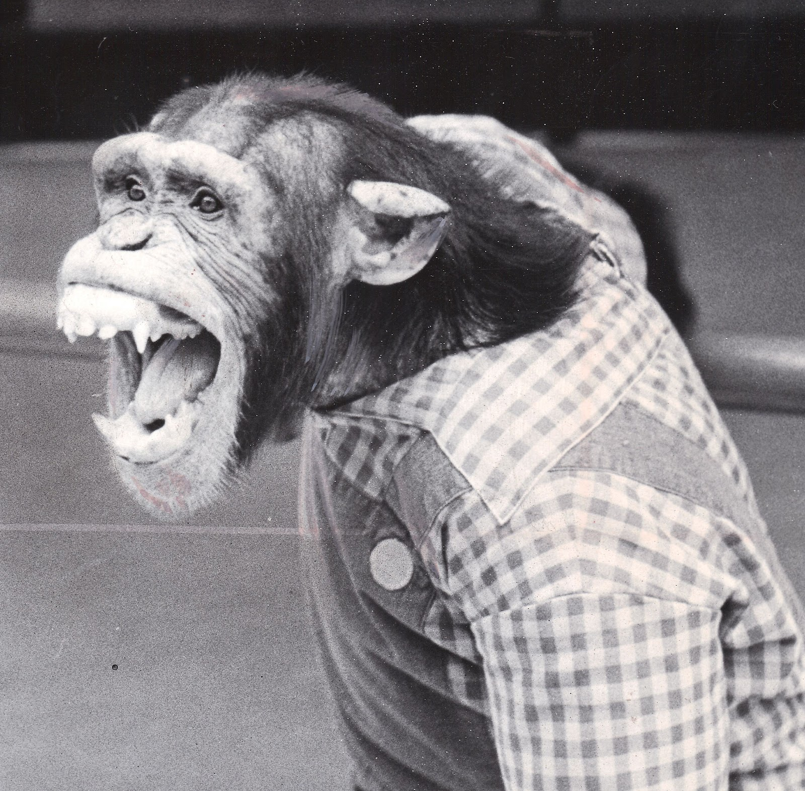 Chimpanzee pictures chimpanzees are all black but - He Performed For The Detroit Zoo From 1968 To 1976 When He Became Too Aggressive For The Chimp Shows And Was