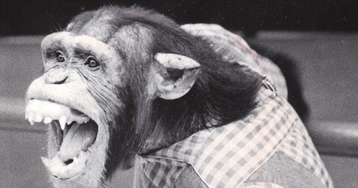 Chimpanzee attack