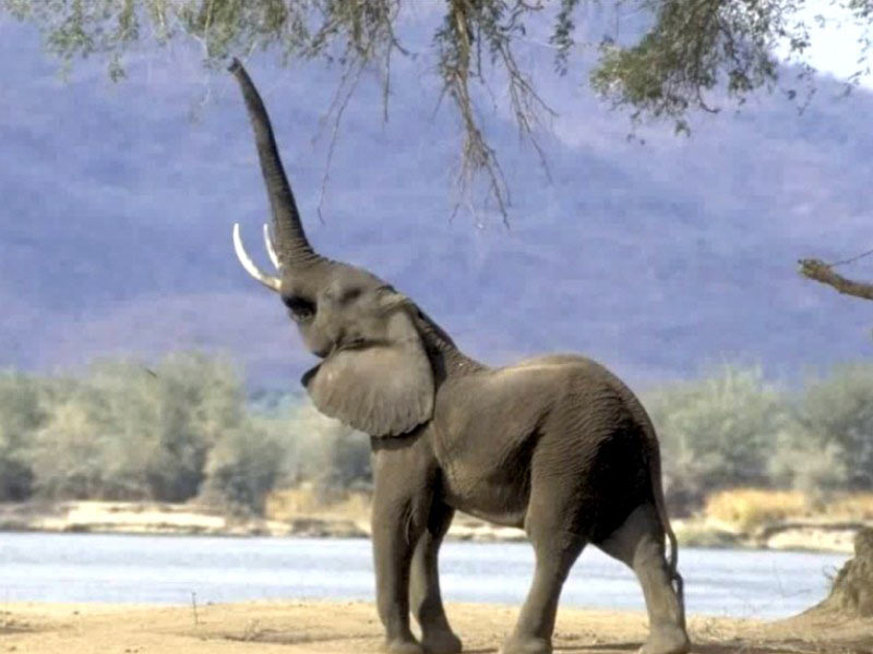 essay on african elephants This paper will seek to analyze the validity of a media report on the decreasing number of elephants in the african continent find essay examples get a.