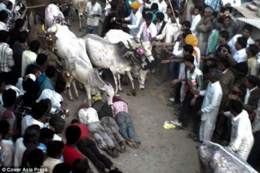 بالفيديو والصور: طقوس غريبة لهنود تدهسهم الأبقار لتجلب الحظ لهم