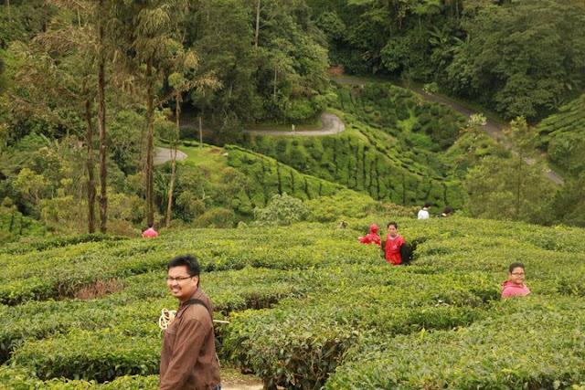 ladang teh, cameron highland, boh,