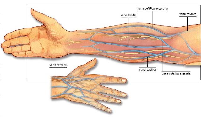 Sistema Circulatorio: Vascularización de la extremidad superior