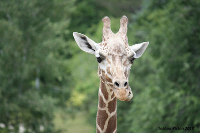 a giraffe with twisted lips