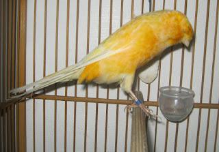 Burung Kenari - Solusi Penangkaran Burung Kenari -  Kode Ring Kenari Import Pada Austria