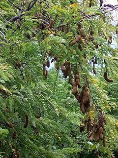 Jual bibit pohon asam jawa atau (Tamarindus indica) | suplier tanaman | aneka tanaman hias | jasa desain taman