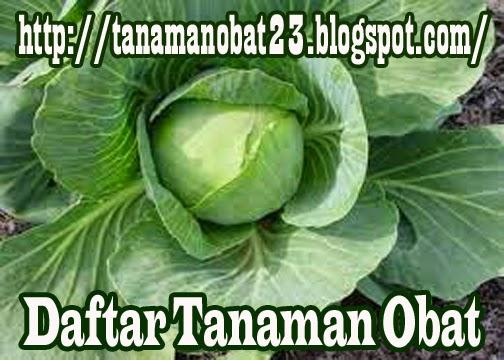 Tanaman Obat Kubis (Brassica oleracea var. capita