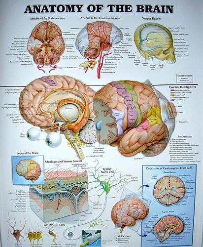 Brain Anatomy4