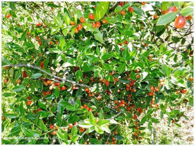 Planta nativa - Chacra Educativa Santa Lucía