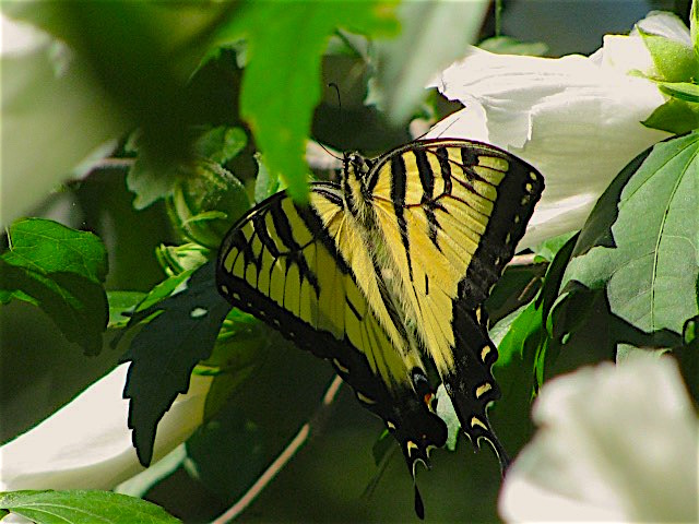 Yellow Swallowtail, balancing on a Rose of Sharon bloom