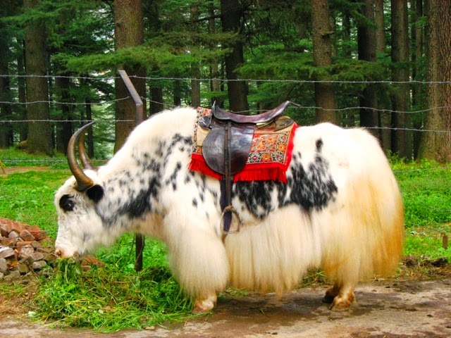 A Yak in Manali