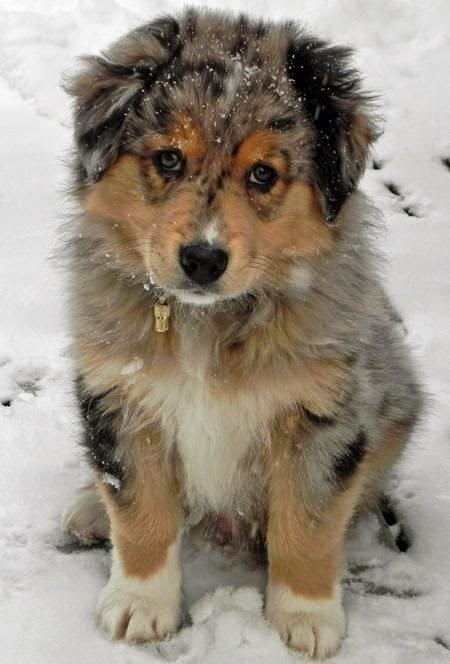 Cute  Australian Shepherd