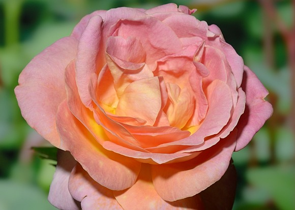 Elle rose сорт розы фото
