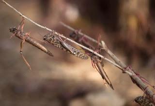 30 Juta Serangga Menyerbu Israel,  Azab Tuhan Dalam Kisah Fir'aun Terulang?