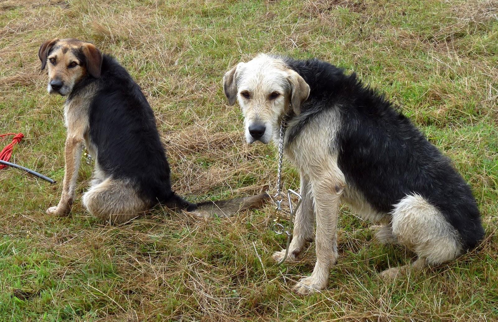 Dog Breeds Used In Ww Germany