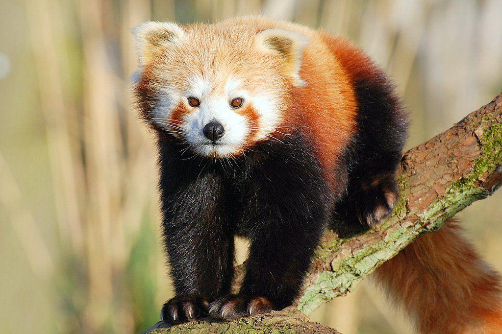 17. Red Panda