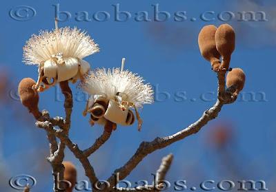 baobab de Grandidier Adansonia grandidieri
