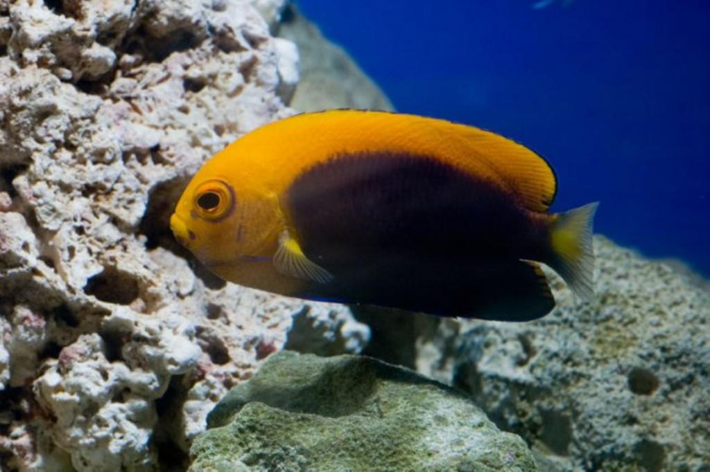 Fish Pictures: Orange-back angelfish - Centropyge acanthops