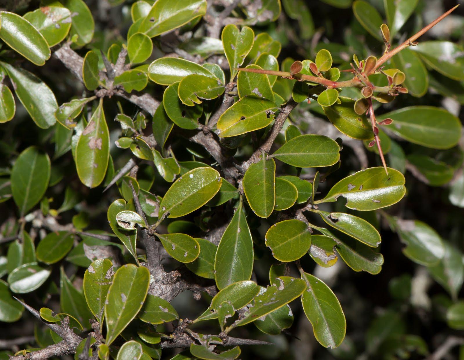 Paisajista laila huber rboles nativos condalia - Color verde hoja ...