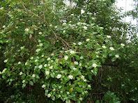 """Exemplar de marfull """"Viburnum tinus"""" a la vessant nord del Coll de Marfà"""