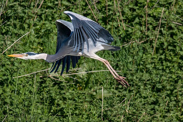 Grey Heron in flight