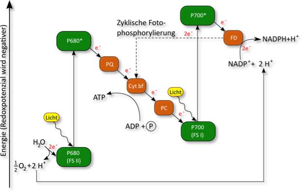 Bio-Blog: Fotosynthese C3- und C4-Pflanzen im Vergleich