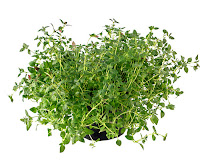 Thyme: A powerful herbal antibiotic