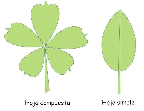 Desde las gavetas de mi escritorio: Función de las hojas en las ...