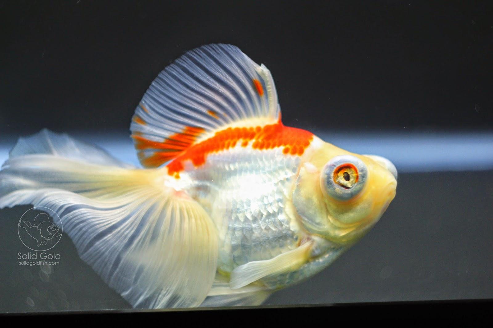 New fish from dandy orandas solid gold aquatics for Solid gold fish