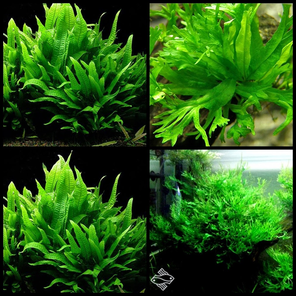Tanaman aquascapelow light 1 java fern microsorum pteropus aquirama blog - Gambar aquascape ...