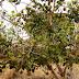Um fruto do cerrado - araticum