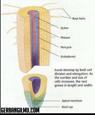 Struktur akar gambar