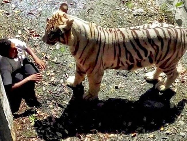 Punca Sebenar Remaja Lelaki Maut Dibaham Harimau Putih Di Zoo