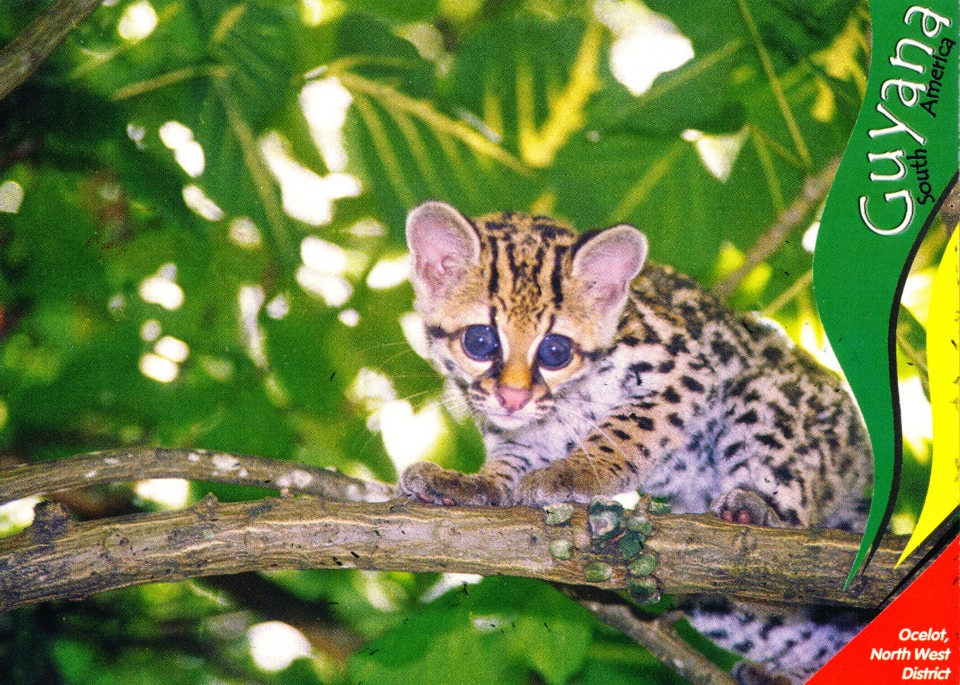 postcard, guyana, ocelot, all skin teeth nah laff