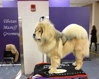 Tibetan Mastiff Grooming, Dog Grooming All steps, Mastiff Dog Grooming, Pet Grooming,