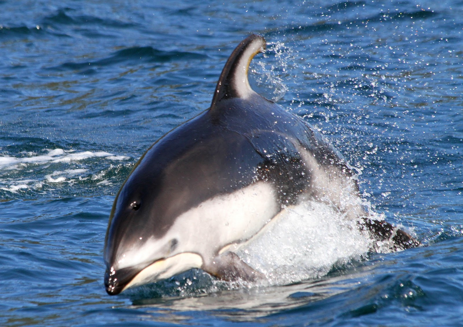 Pacific white sided dolphin