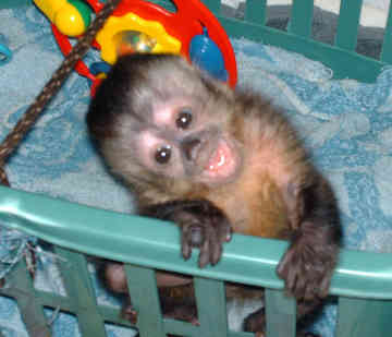 its simply life capuchin monkey day 6