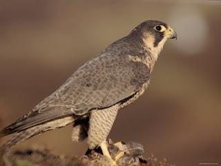 Falco peregrinus brookei - Halcón peregrino ibérico