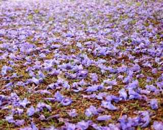 Jacaranda blossoms on grass
