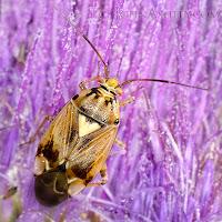 Western Tarnished Plant Bug on thistle bloom (c) John Ashley