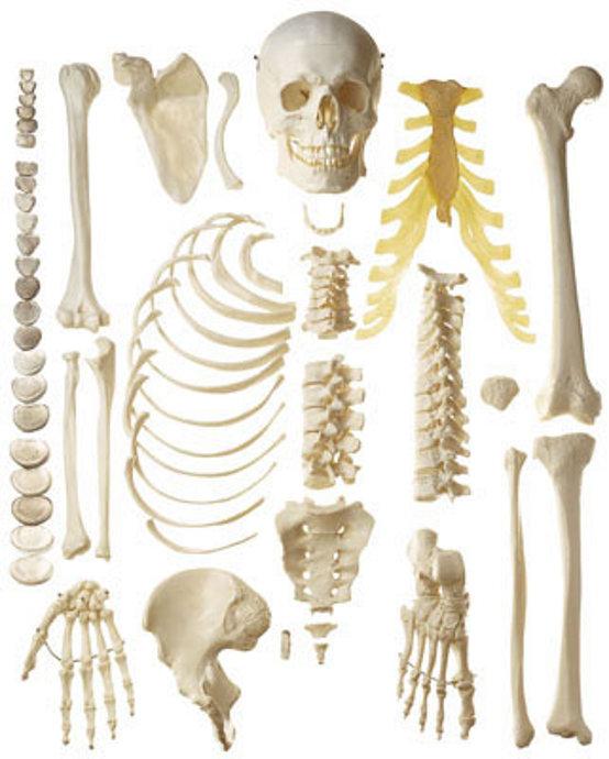 Cuerpo Humano partes del cuerpo humano