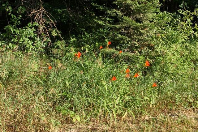 orange day lilies along a country road