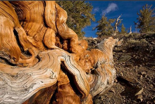 عينات '' لاقدم شجرة'' في العالم بالصور 10_bristlecone.img_assist_custom-600x406