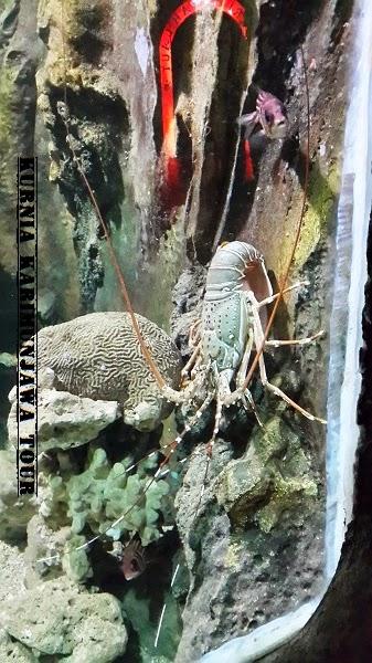 lobster di jepara