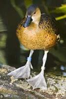 Vertebrata Burung-Bebek