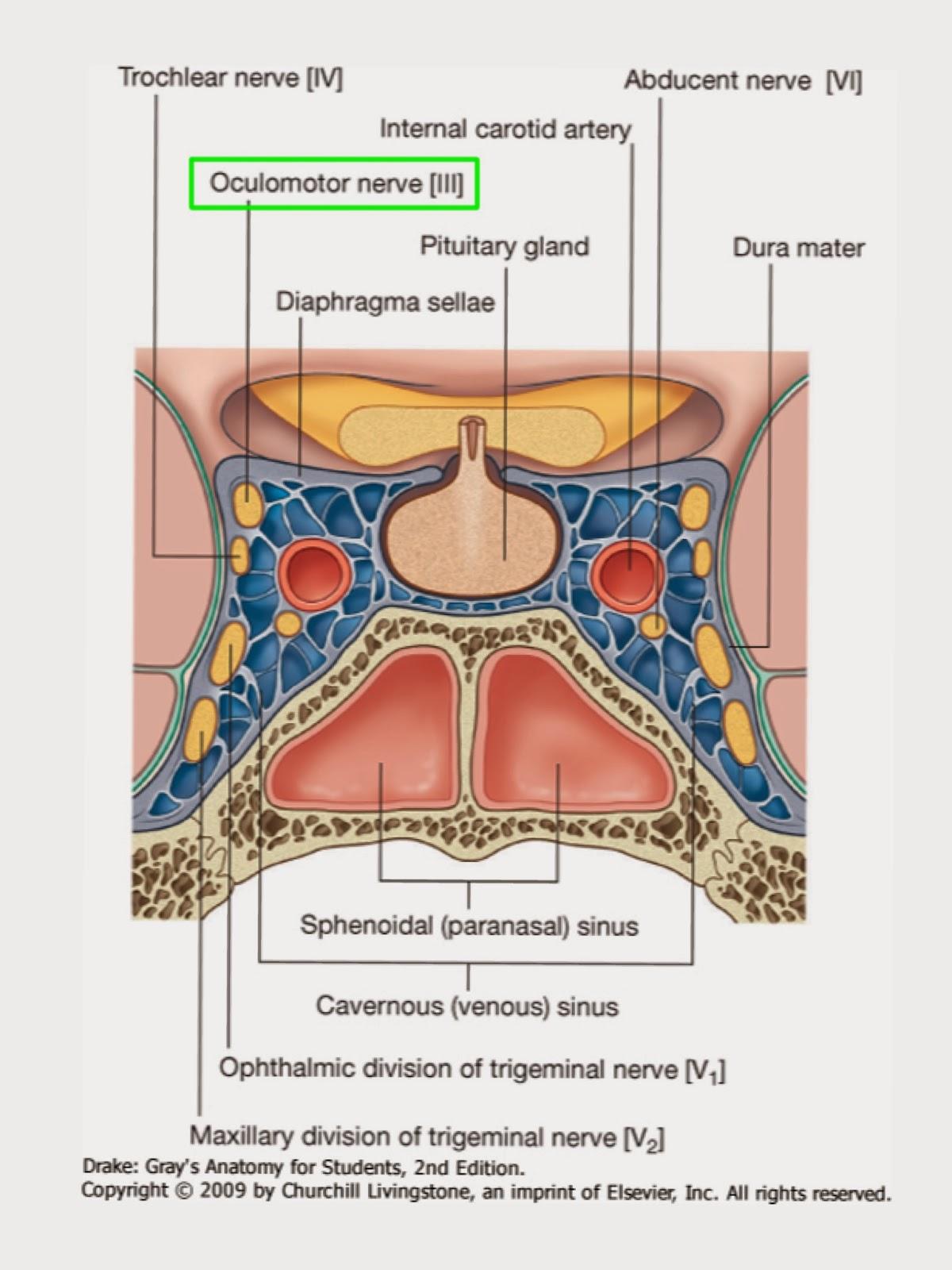 A Tale of Med Students: Oculomotor Nerve – Cranial Nerve III/3