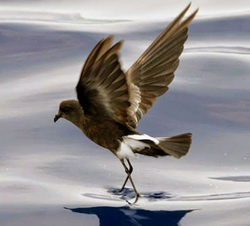 Indian bird - Wilson's storm petrel - Oceanites oceanicus